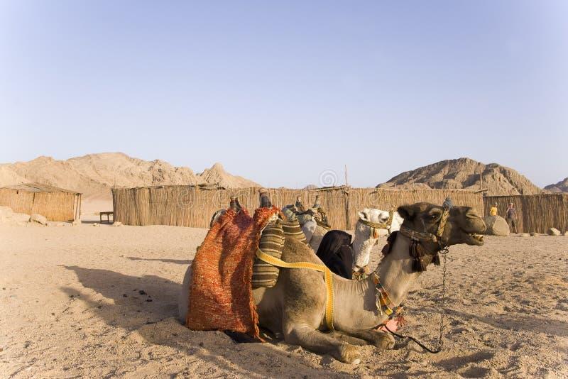 wielbłądy obraz stock