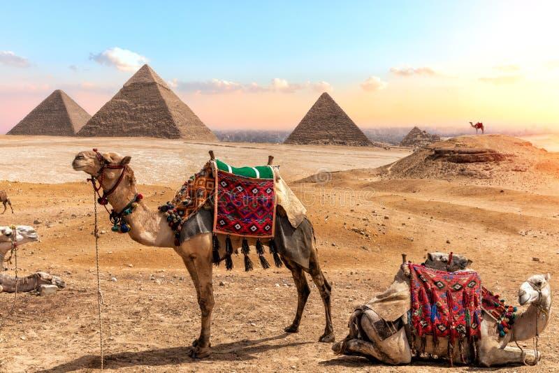 Wielbłądy blisko ostrosłupów, piękna Egipska sceneria fotografia stock