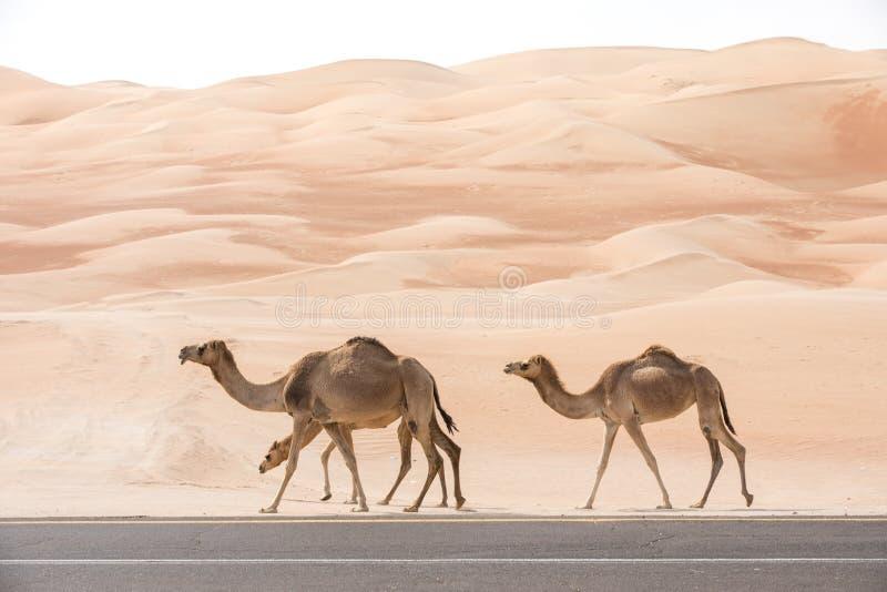 Wielbłądy chodzi wzdłuż asfaltowej drogi zdjęcia royalty free