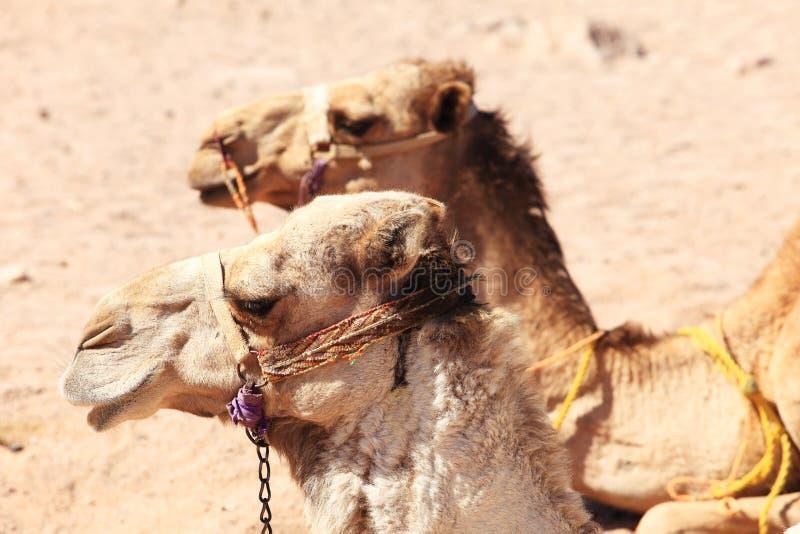 wielbłądy dwa fotografia royalty free