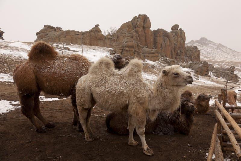 wielbłądy Mongolia zdjęcie royalty free