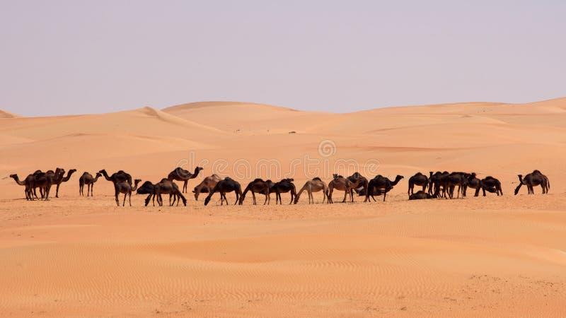 wielbłądy opróżniają ćwiartkę zdjęcia stock
