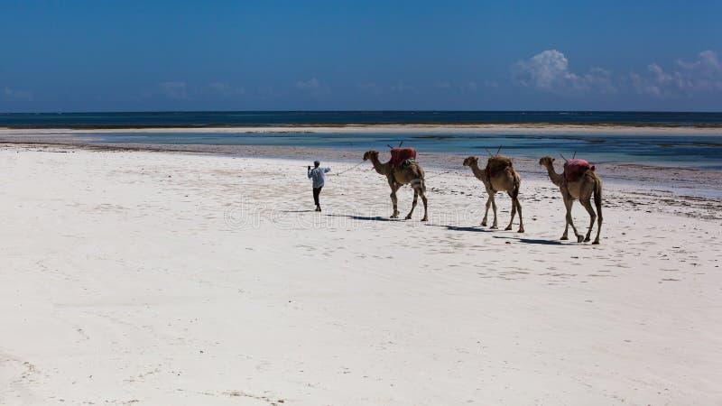 Wielbłądy, plaża, ocean, biały piasek, południe, wakacje zdjęcie royalty free