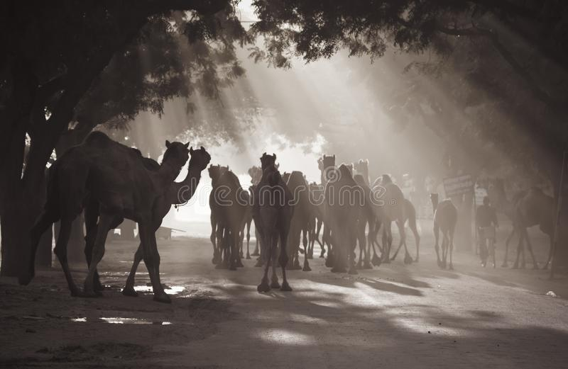 Wielbłądy pod sunrays fotografia royalty free