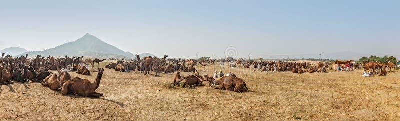 Wielbłądy przy Pushkar Mela, India (Pushkar Wielbłądzi jarmark) obraz stock