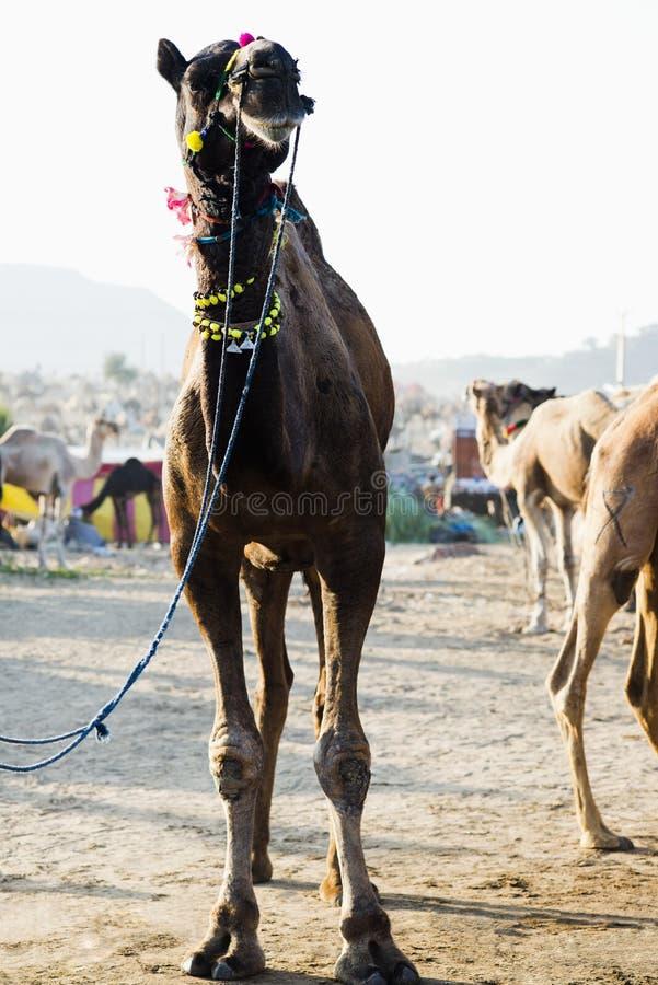 Wielbłądy przy Pushkar Wielbłądzim jarmarkiem, Pushkar, Ajmer, Rajasthan, India zdjęcia royalty free