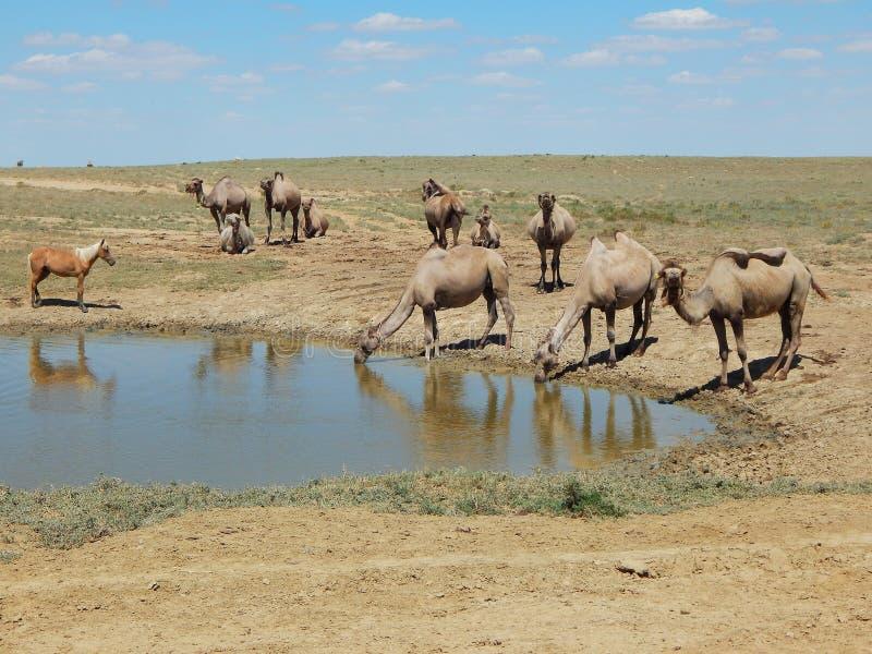 Wielbłądy przy wodą fotografia stock