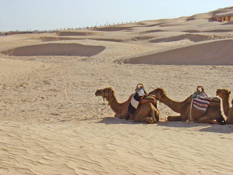 wielbłądy Sahara zdjęcia royalty free
