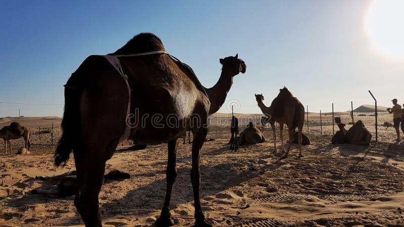 Wielbłądy, spojrzenie przy słońcem obraz royalty free