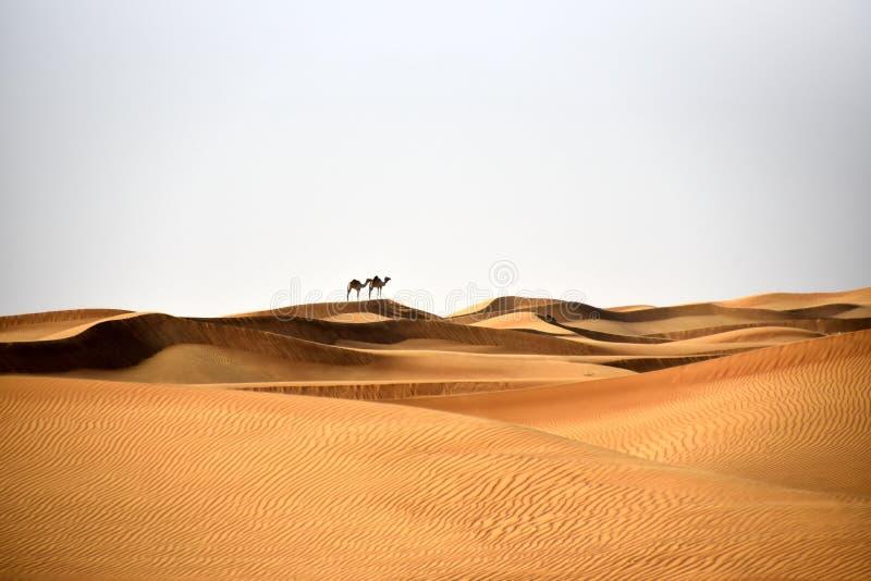 Wielbłądy w Al Bidayer Dezerterują diuny, Dubaj, Zjednoczone Emiraty Arabskie zdjęcie royalty free