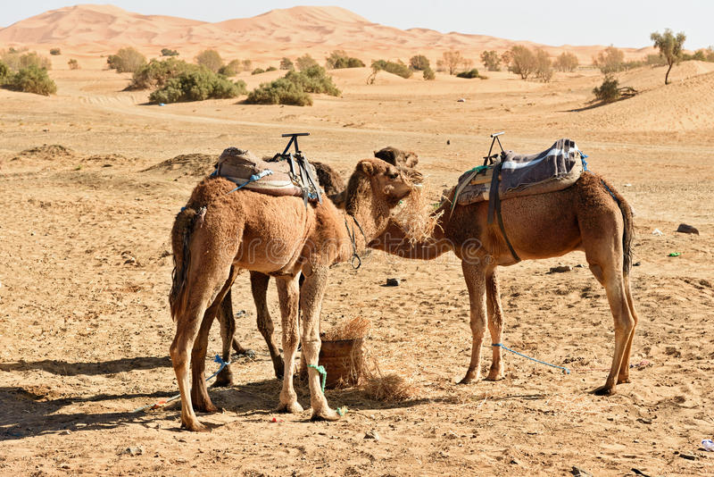 Wielbłądy w erga Chebbi piaska diunach blisko Merzouga, Maroko zdjęcia stock