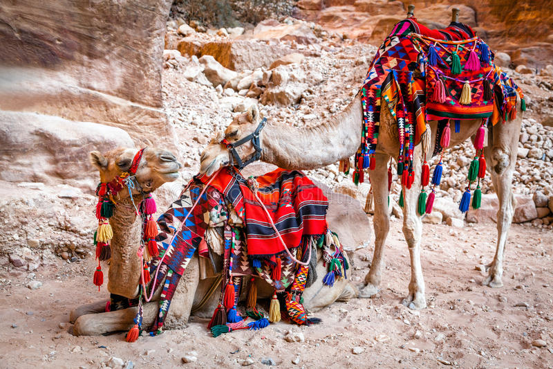 Wielbłądy w Petra zdjęcia royalty free