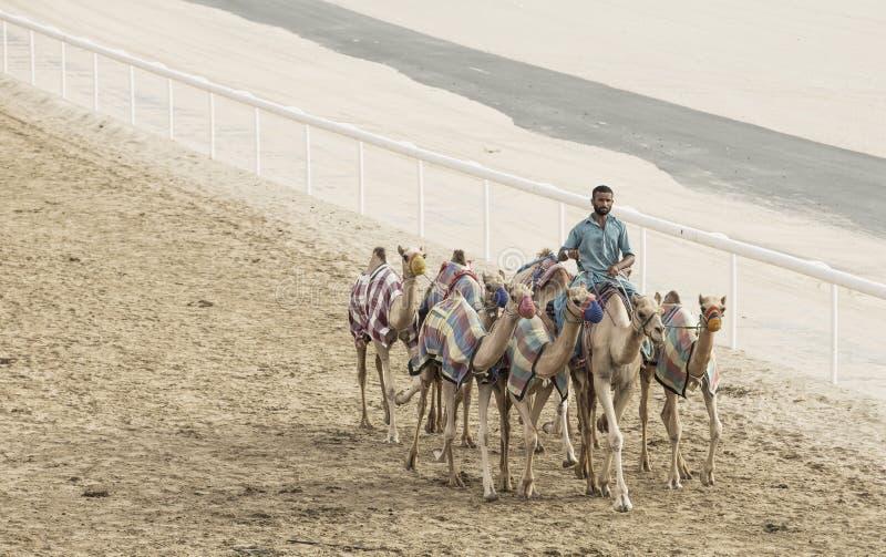 Wielbłądy w pocierania al Khali pustyni przy Pustą ćwiartką w Abu Dhabi, zdjęcia royalty free