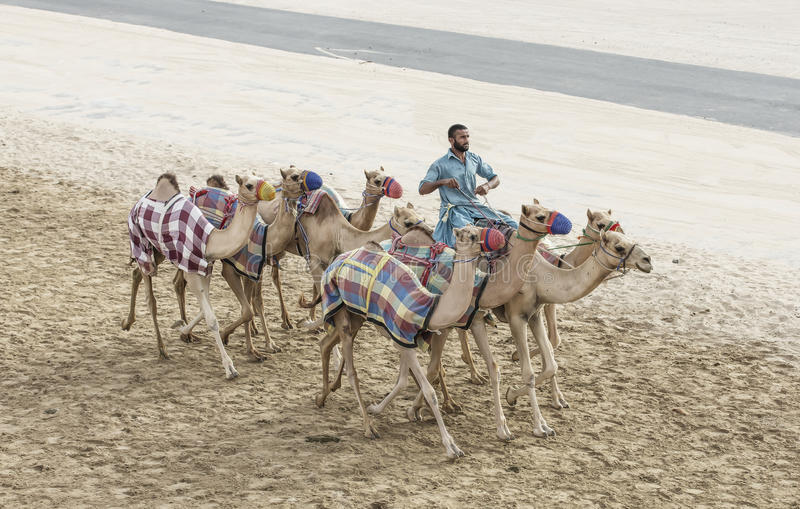Wielbłądy w pocierania al Khali pustyni przy Pustą ćwiartką w Abu Dhabi, zdjęcie stock