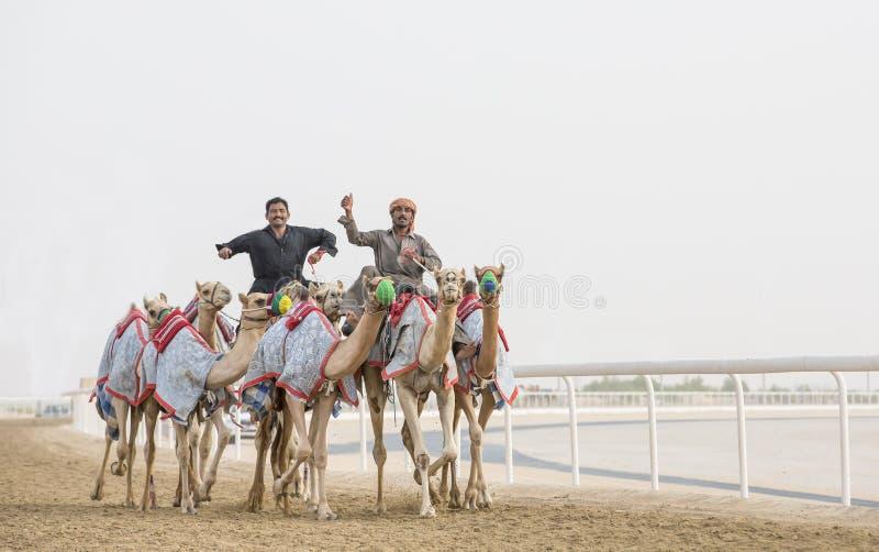 Wielbłądy w pocierania al Khali pustyni przy Pustą ćwiartką w Abu Dhabi, fotografia stock