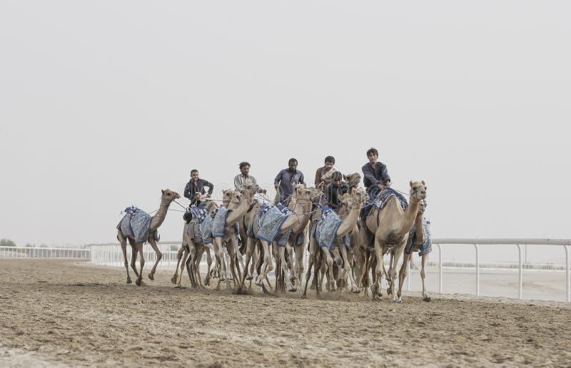 Wielbłądy w pocierania al Khali pustyni przy Pustą ćwiartką w Abu Dhabi, obraz stock