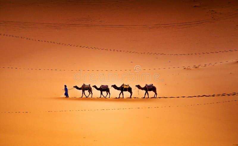 Wielbłądy w pustyni zdjęcie royalty free
