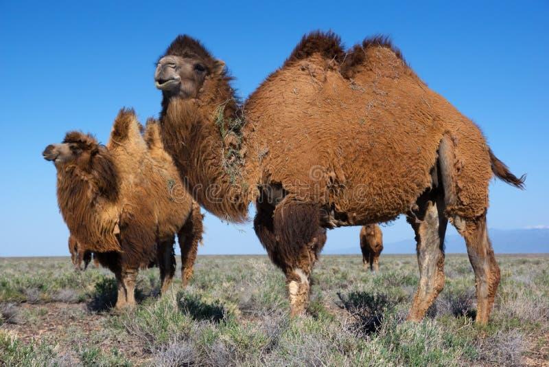 Wielbłądy w pustyni Kazachstan fotografia royalty free