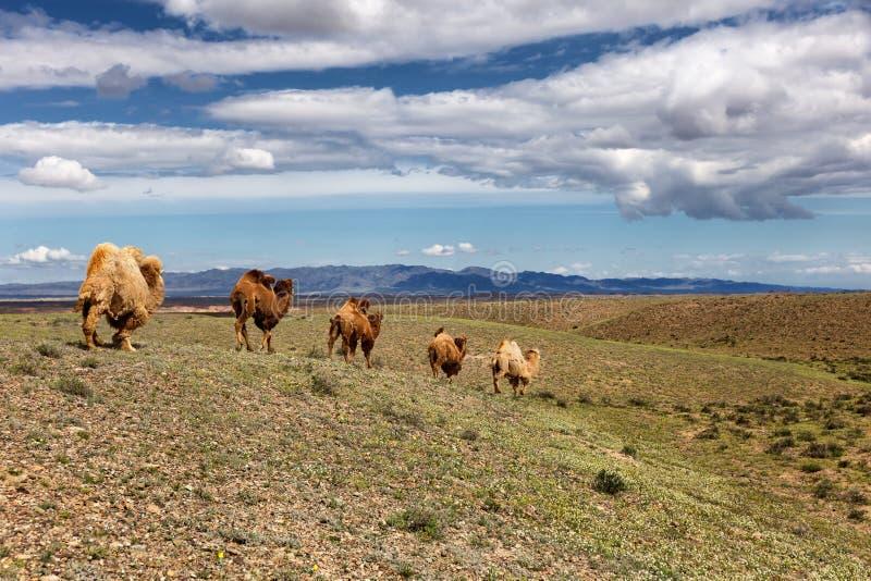 Wielbłądy w pustyni Kazachstan obrazy royalty free