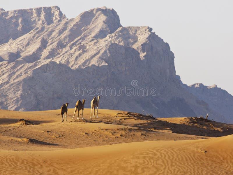 Wielbłądy w Pustynnych górach zdjęcia royalty free
