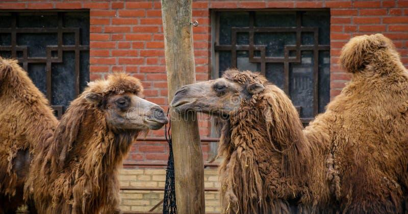 Wielbłądy w zoo zdjęcie royalty free