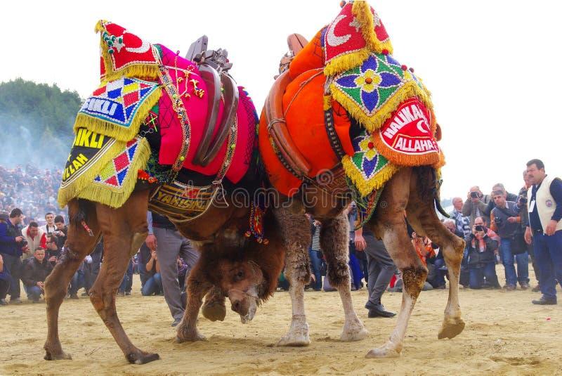 Wielbłądy walczą przy wretling festiwalem, Selcuk, Izmir, Turcja obrazy stock