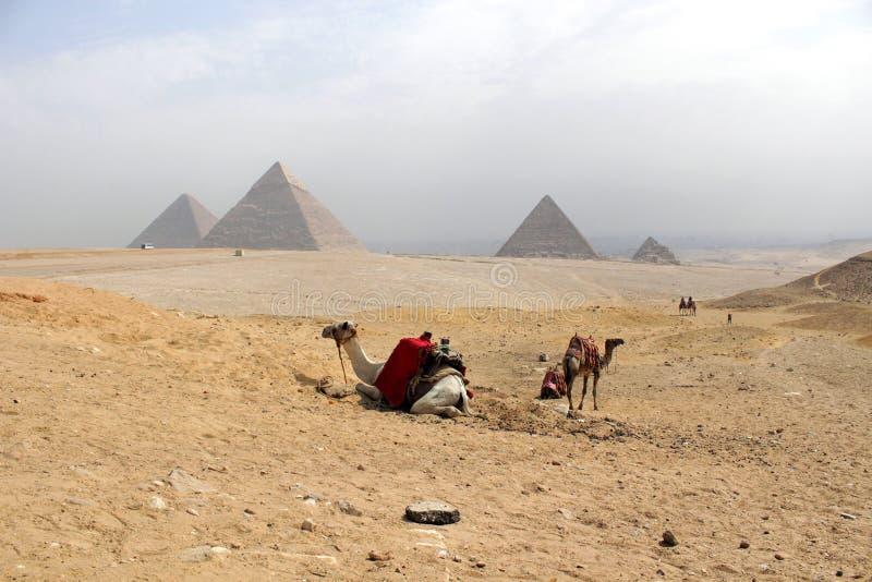 Wielbłądy & Wielcy ostrosłupy Giza w tle w Sah obraz royalty free