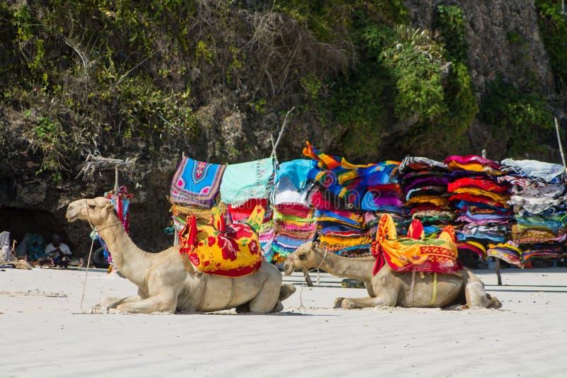Wielbłądy z comberem na plaży obraz stock