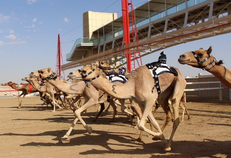 Wielbłądzi ścigać się początek s w Dubaj obraz royalty free