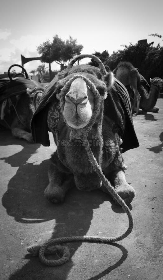Wielbłądzi gapić się w kamerę zdjęcie stock
