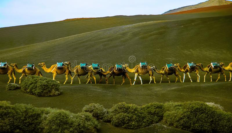 Wielbłądzi karawanowy iść na zielonym wzgórzu obraz stock