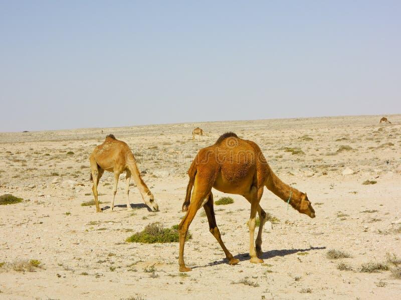 Wielbłądzi karawanowy iść przez pustyni fotografia royalty free