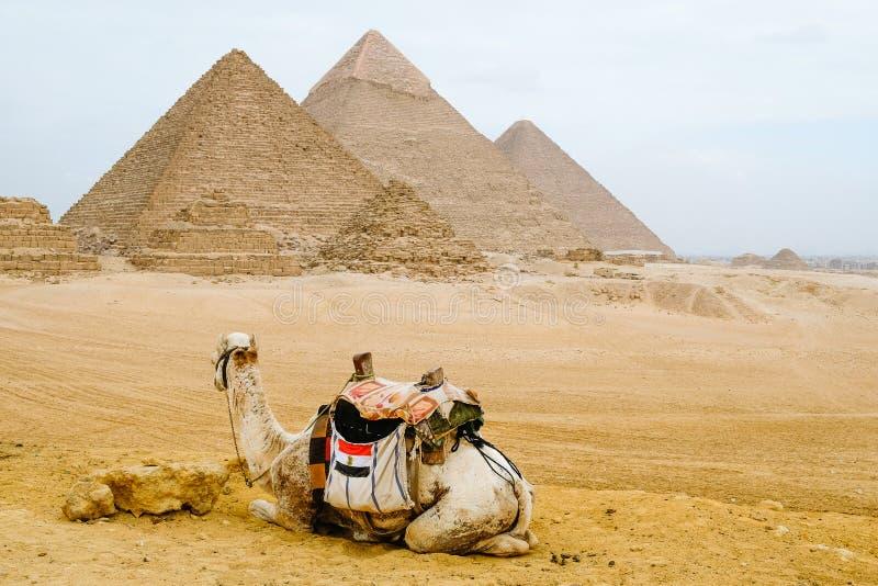 Wielbłądzi obsiadanie przed ostrosłupami obrazy stock