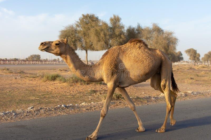 Wielbłądzi skrzyżowanie: Ono wystrzega się luźni wielbłądy blisko wielbłądziego biegowego śladu gdy kłusują pobliskimi samochodam fotografia royalty free