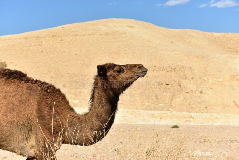 Wielb??d w Judea pustyni zdjęcie stock