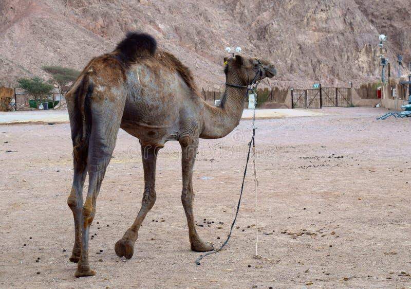 Wielb??d w pustyni zdjęcie stock