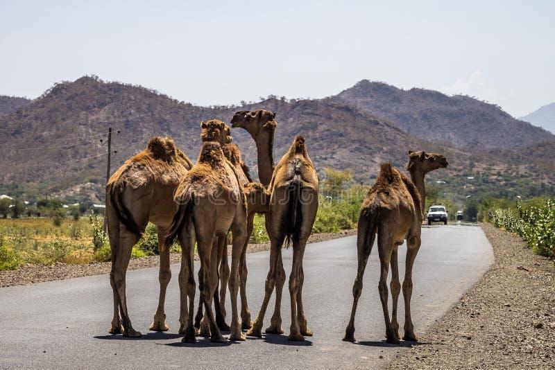 Wielb??dy na drodze Gheralta w Tigray, P??nocny Etiopia zdjęcia stock