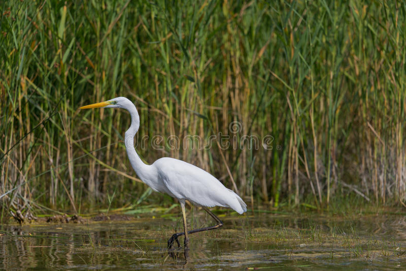 Wielcy biali egret egret albumy podczas polowania obraz royalty free