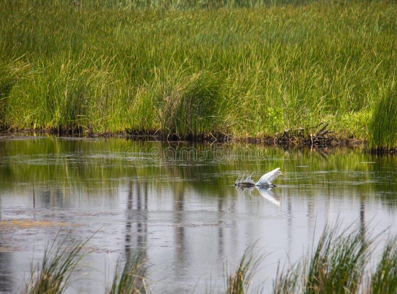 Wielcy Biali Egret strajki przy ryba zdjęcia stock