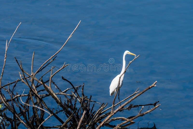 Wielcy biali egrets stoi na gałąź obrazy royalty free