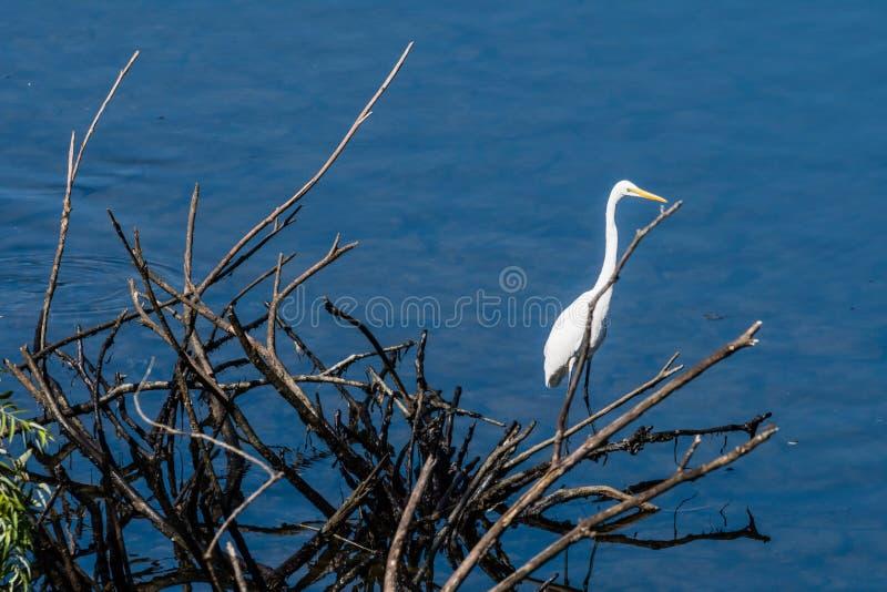 Wielcy biali egrets stoi na gałąź fotografia stock