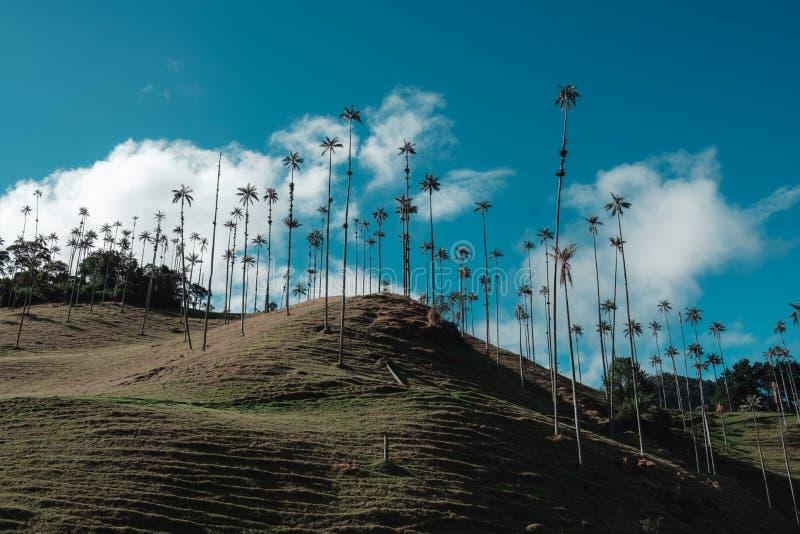 Wielcy drzewka palmowe między górami i lasem fotografia stock