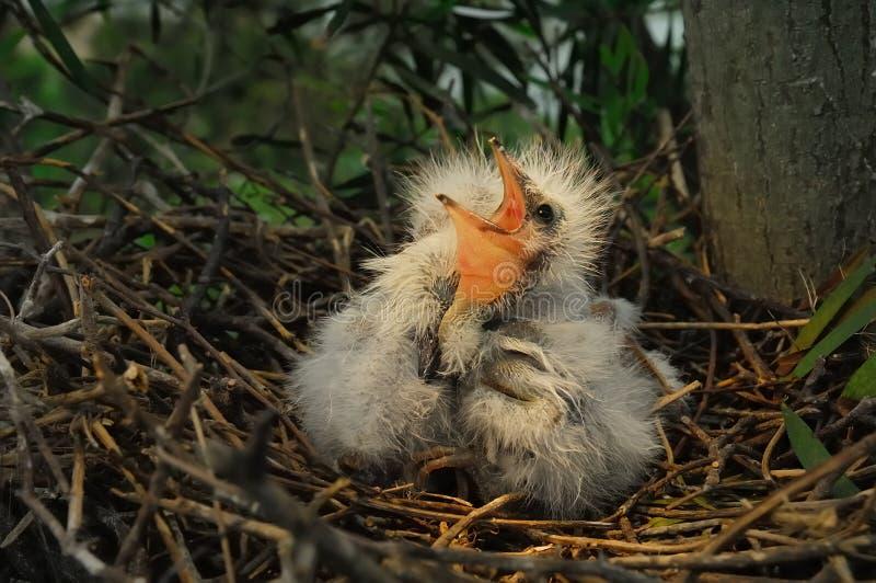 Wielcy egret kurczątka w gniazdeczku obraz stock