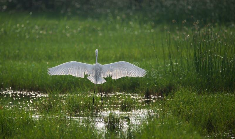 Wielcy Egret ` s Otwarci skrzydła obrazy royalty free