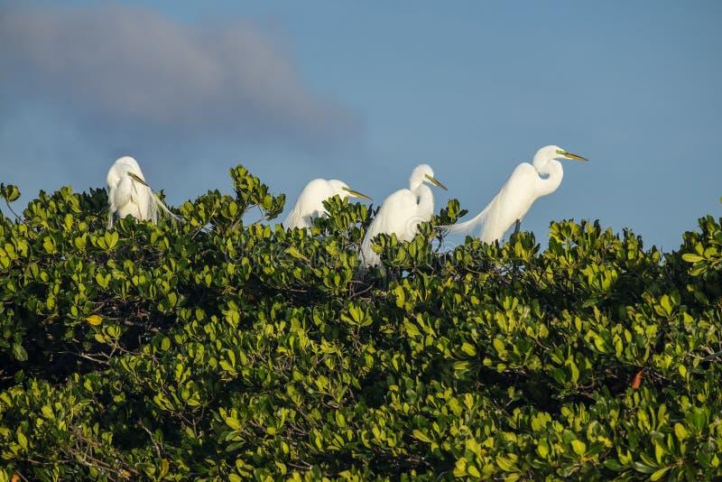 Wielcy Egrets w ptaku Gniazduje ziemię w błotach Floryda obraz royalty free