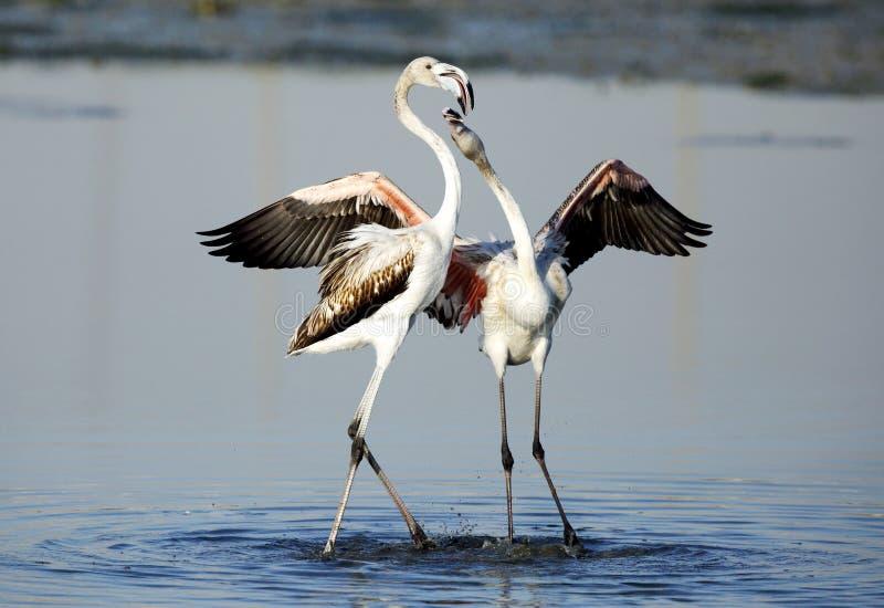Wielcy flamingi w koperczaki obraz stock