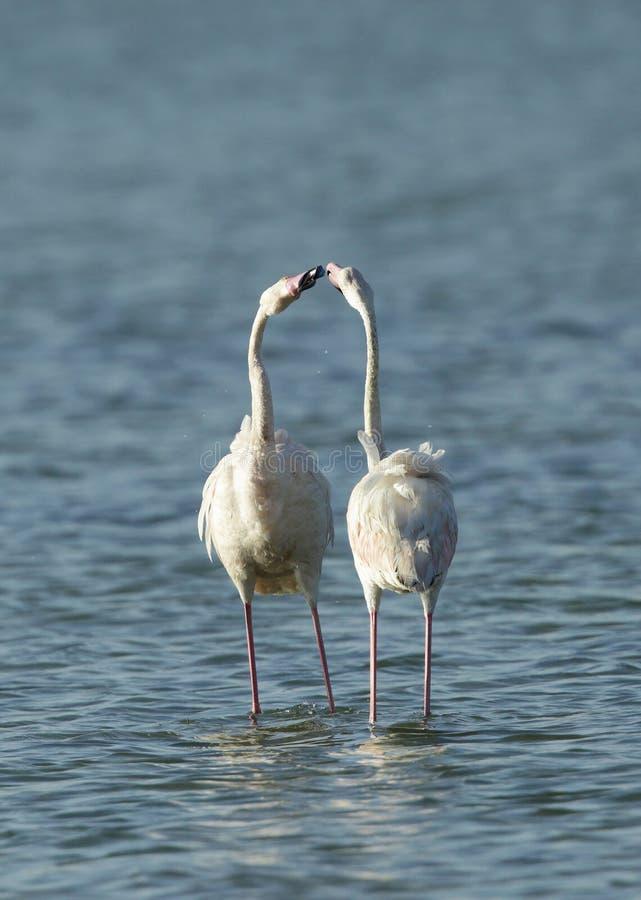 Wielcy flamingi w koperczaki fotografia stock