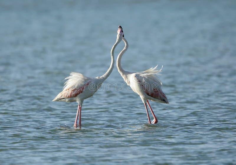 Wielcy flamingi w koperczaki, Arad zatoka obraz stock