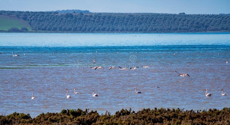 Wielcy flamingi w Lagunie Fuente De Piedra, Andalusia, Hiszpania obraz stock
