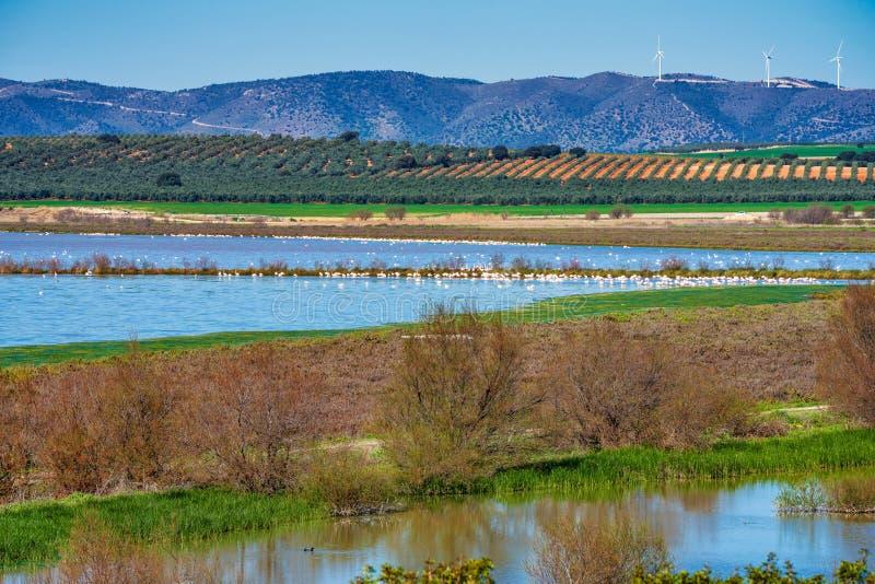 Wielcy flamingi w Lagunie Fuente De Piedra, Andalusia, Hiszpania obrazy stock
